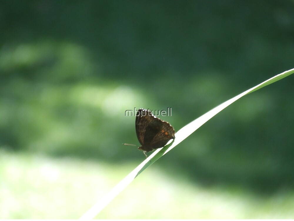 Butterfly on a blade of grass by mbutwell