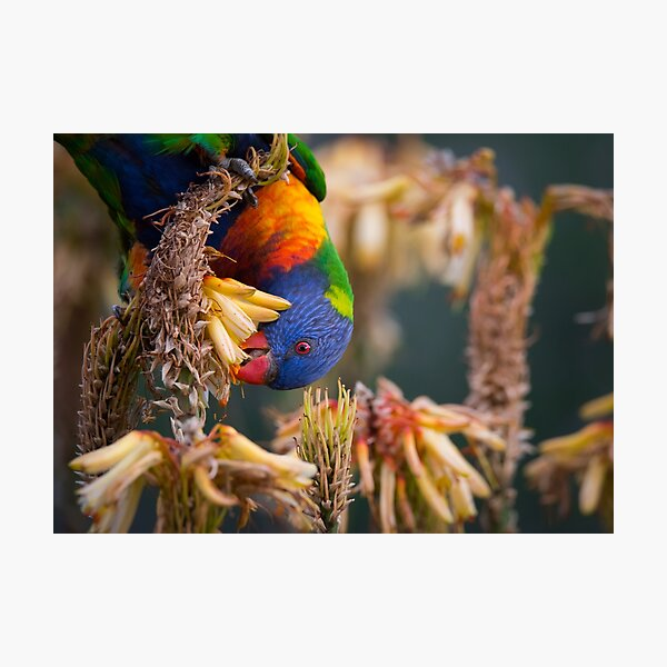 Rainbow Lorikeet Foraging in Yellow Aloe Flowers Photographic Print