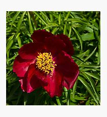 Deep Red Peony With Bright Yellow Stamens  Photographic Print