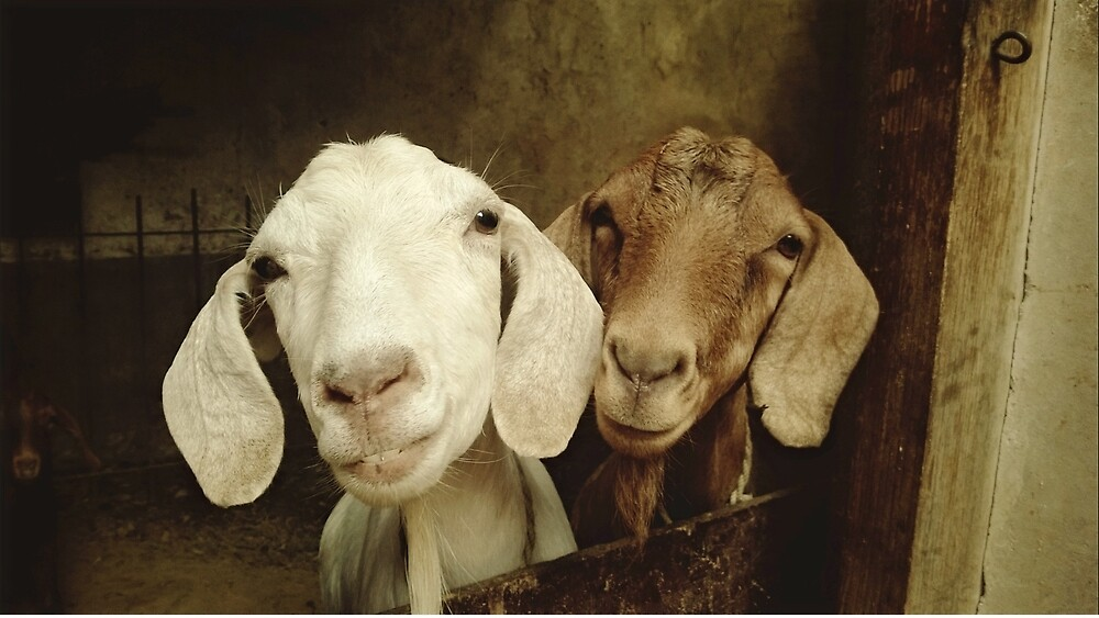 Goats by franceslewis
