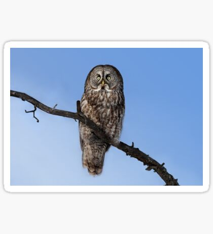 Great Grey owl sits in his perch Sticker