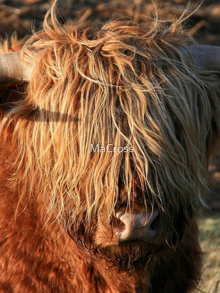 Highland Cattle - Hochlandkuh - Hochländer von MaCross