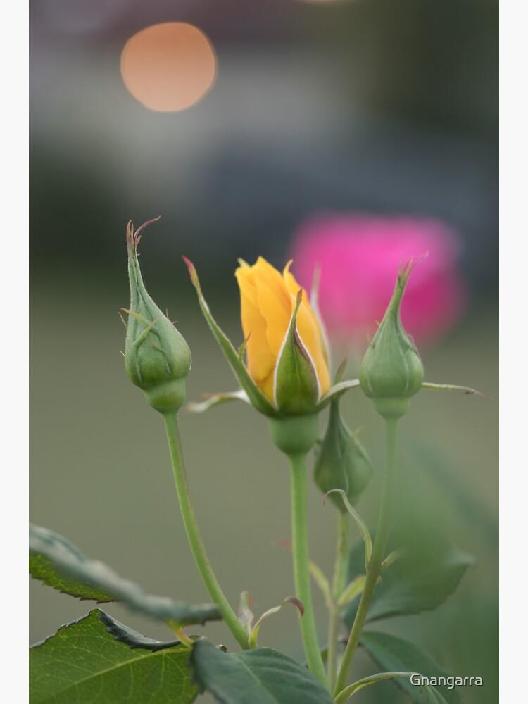 Yellow rose by Gnangarra