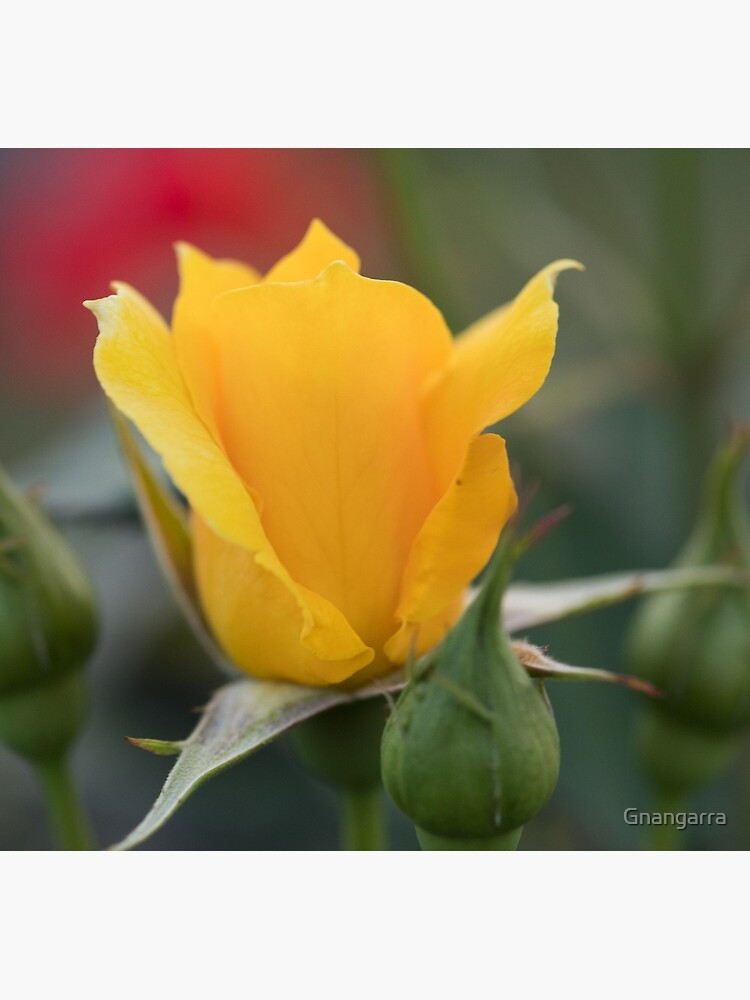 of Yellow rose too by Gnangarra