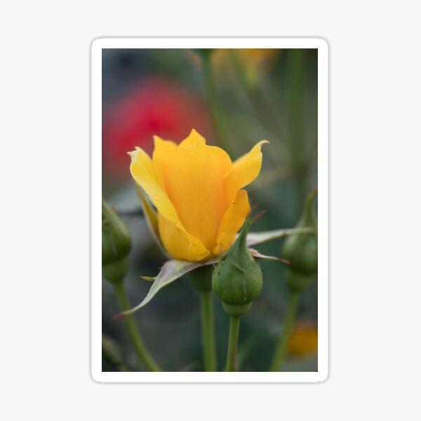 of Yellow rose too Sticker