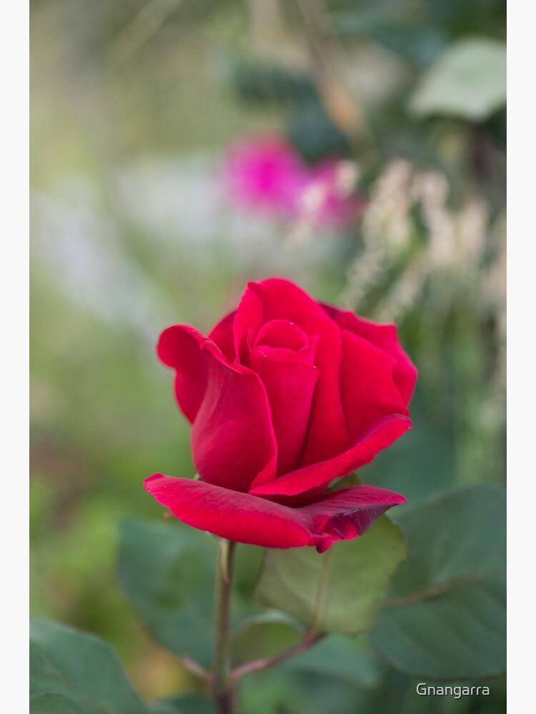 Red rose by Gnangarra