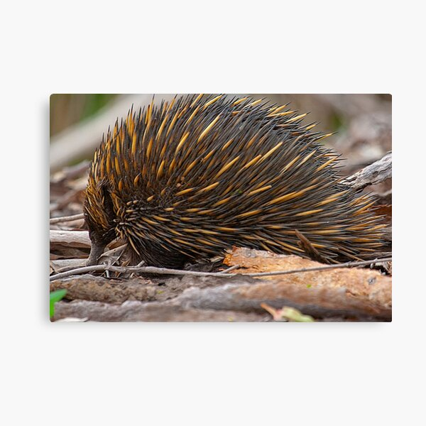 Echidna Snuffling for a Feed Canvas Print