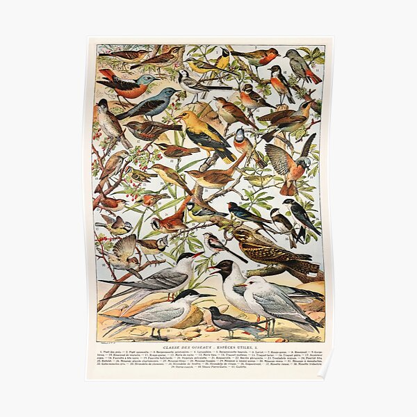 Adolphe Millot - Oiseaux espèces utiles 01 - Französisches Vintage-Ornithologieplakat Poster