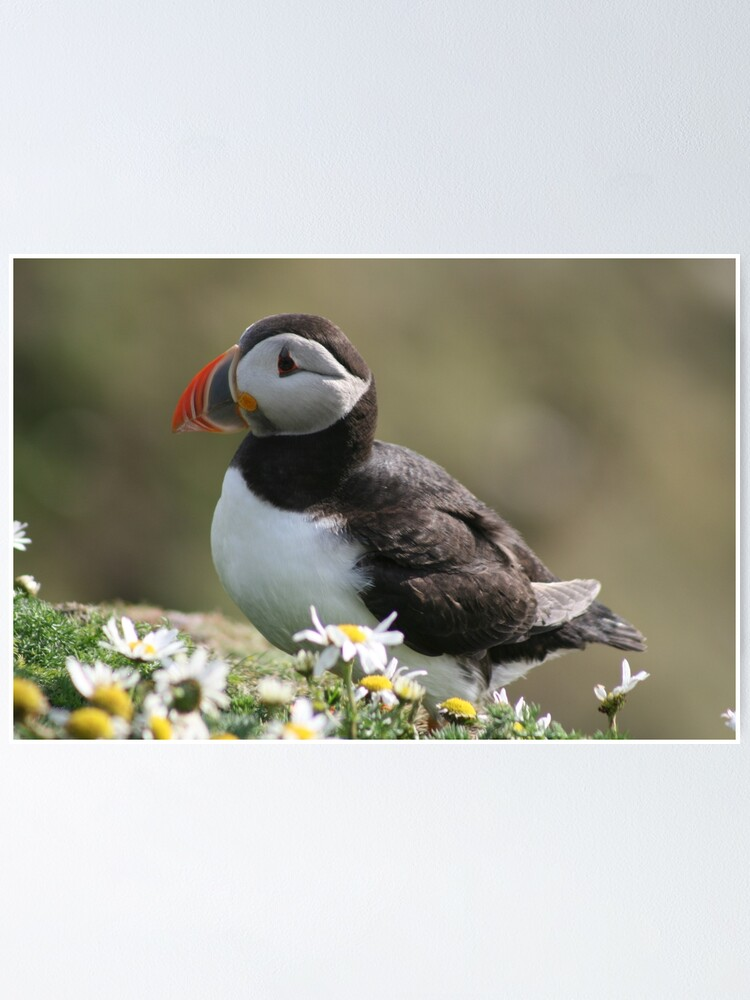 Alternate view of Sumburgh puffin Poster