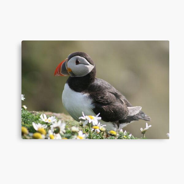 Sumburgh puffin Metal Print