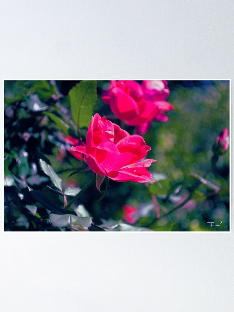 Alternate view of Roses and Leaves Poster