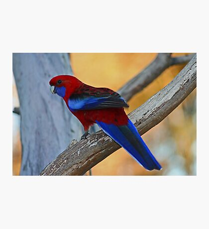 Rosella Photographic Print