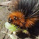 Tiger Moth caterpillar having dinner by sarnia2
