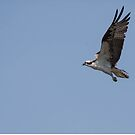 Osprey in flight by DHParsons