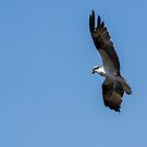 Osprey in flight and hunting by DHParsons