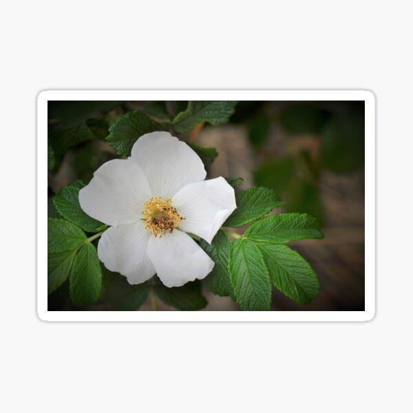 Cherokee Rose - Rosa laevigata Sticker