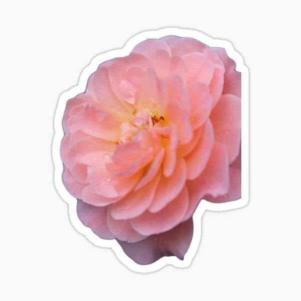 Pink Rose Petals Sticker