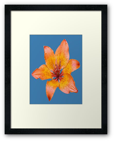 Coral Lily on White by taiche