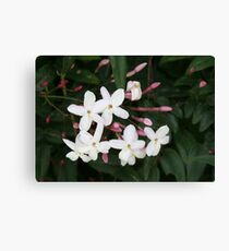 Delicate White Jasmine Blossom with Green Background Canvas Print