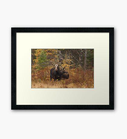 Moose - Algonquin Park, Canada Framed Print