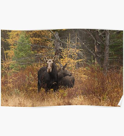 Moose - Algonquin Park, Canada Poster