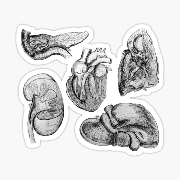 Pen and Ink Human Anatomy Organ Sketches Sticker