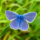 A male Common Blue butterfly by John Keates