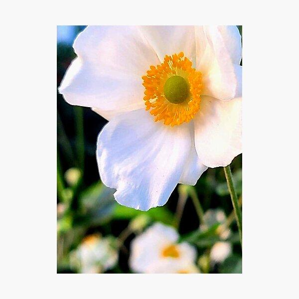 Beautiful Anemone White Wildflower in New York City Park  Photographic Print