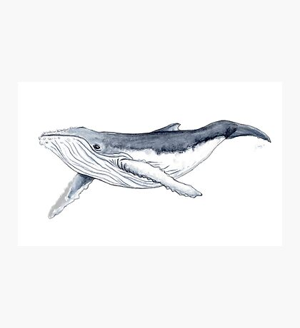 Humpback whale baby Photographic Print