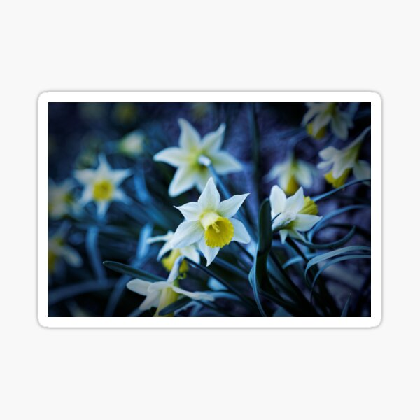 Wild daffodil, forest flowers Sticker
