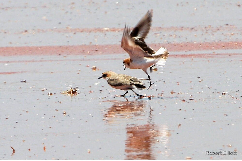 """Red-capped Plovers ~ """"Love is in the air""""   by Robert Elliott"""