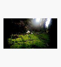 Sequoia Photographic Print