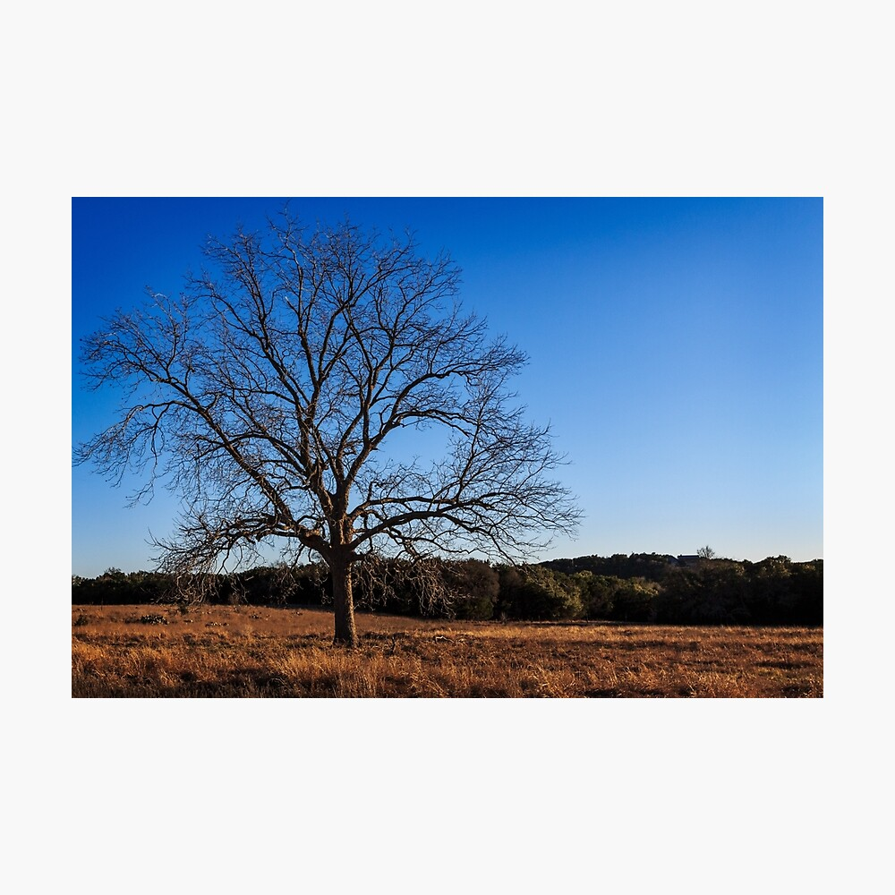 Old Pecan tree Photographic Print