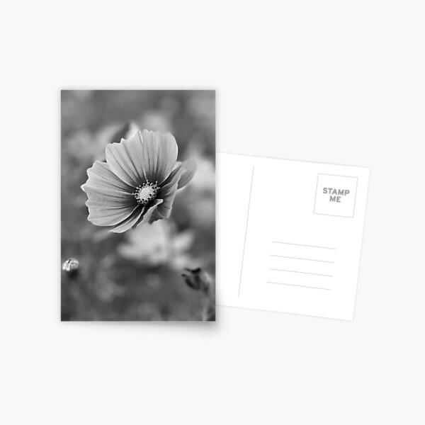 Cosmos Flower Photography in black and white Postcard