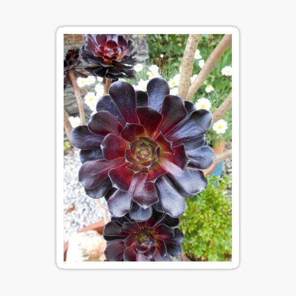 Dark Beauty - Aeonium Schwarzkopf Flower Sticker