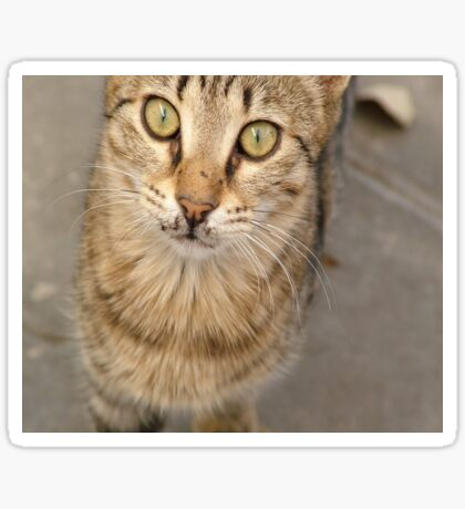 Eye Contact With A Stray Tabby Cat Sticker