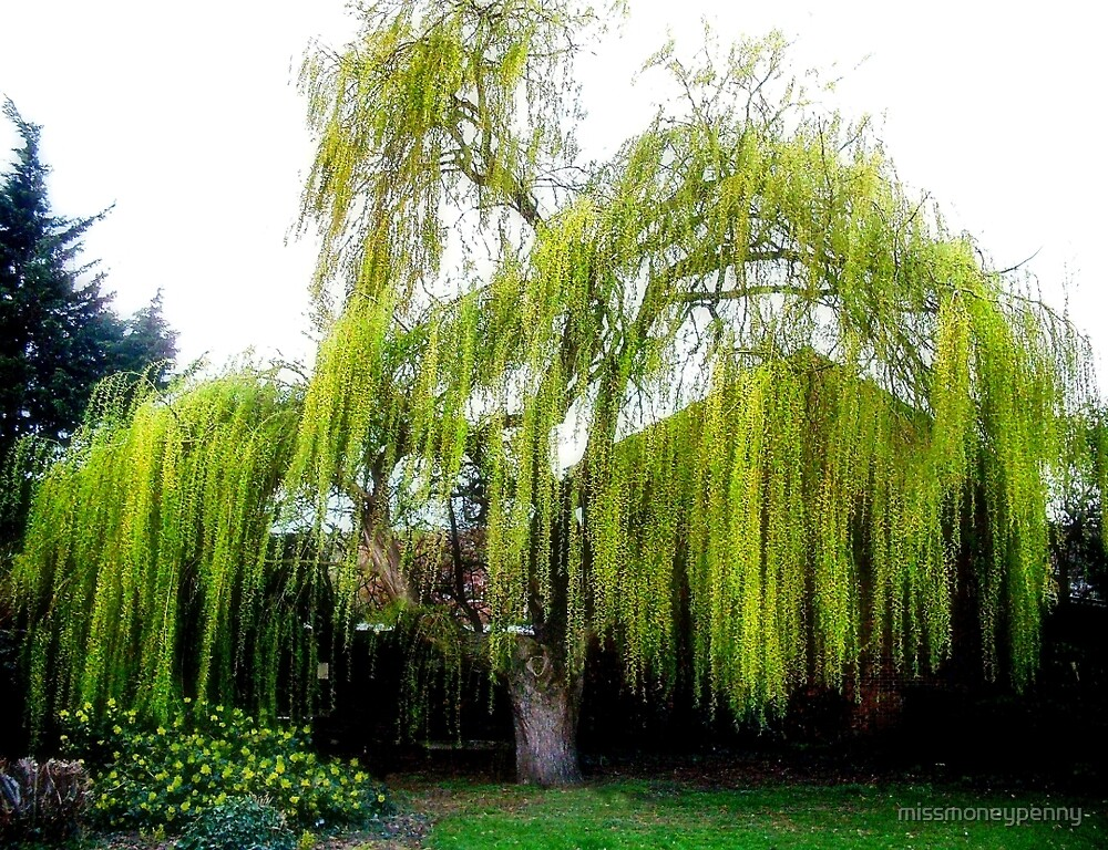 The weeping willow by missmoneypenny