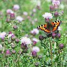 Small Tortoiseshell Butterfly by Nigel Tinlin