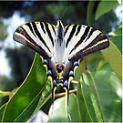 Swallowtail Butterfly Resting on Oleander Leaves by taiche