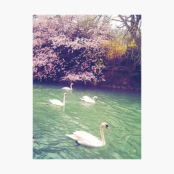 Swans With Spring Colours Photographic Print
