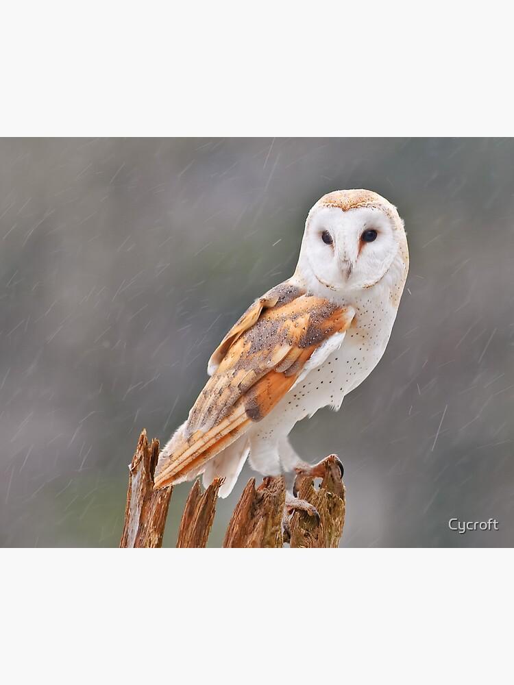 Barn Owl by Cycroft