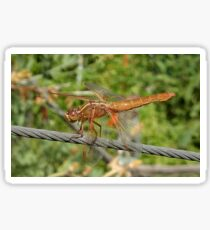 Female Red Skimmer Dragonfly  Sticker