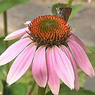Coneflower with Visiter by Rusty Katchmer
