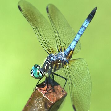 Dragonfly by fotokmcc