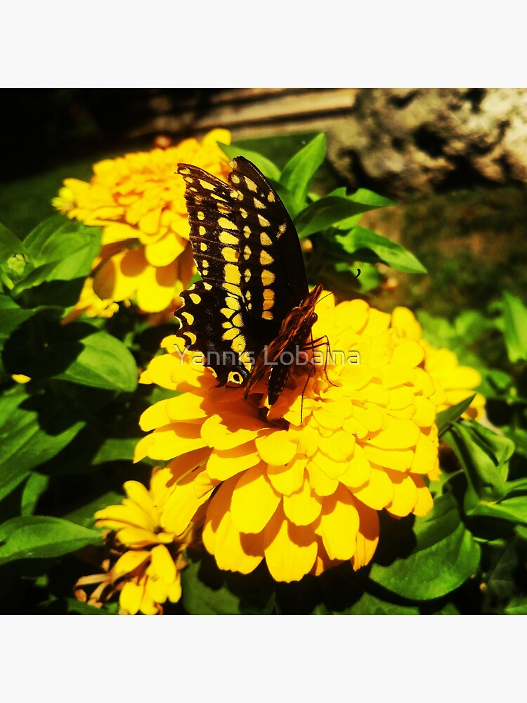 Yellow butterfly by Yannis Lobaina by lobaina1979