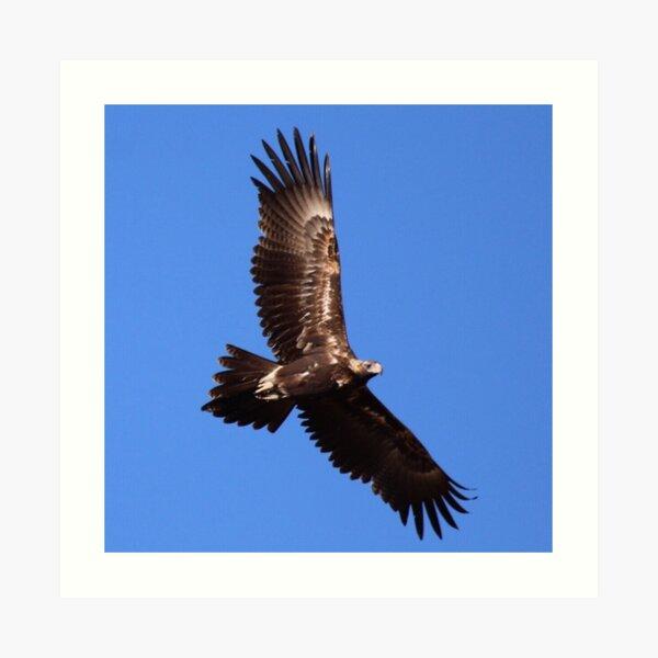 Wedge-tailed Eagle Art Print