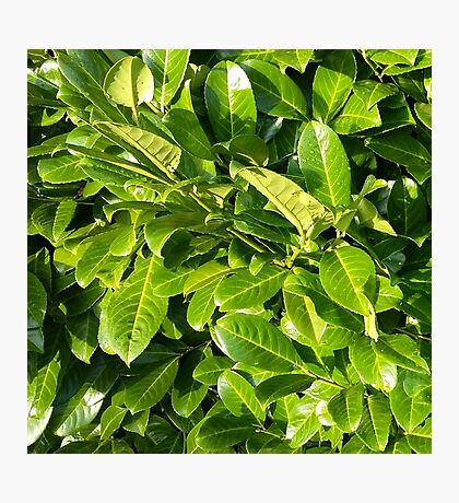 Leaves of green Photographic Print