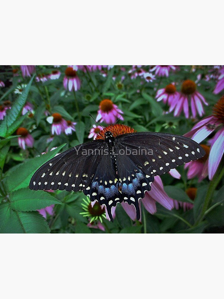 Black Swallowtail Butterfly  before flying in search of sun By Yannis Lobaina by lobaina1979
