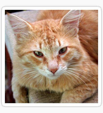Ginger Tom Cat Portrait Sticker