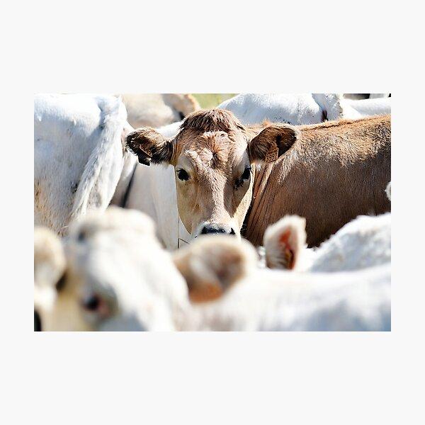 Cows 3 Photographic Print